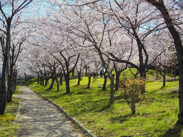 Ngắm hoa anh đào ở vườn Nishinomaru