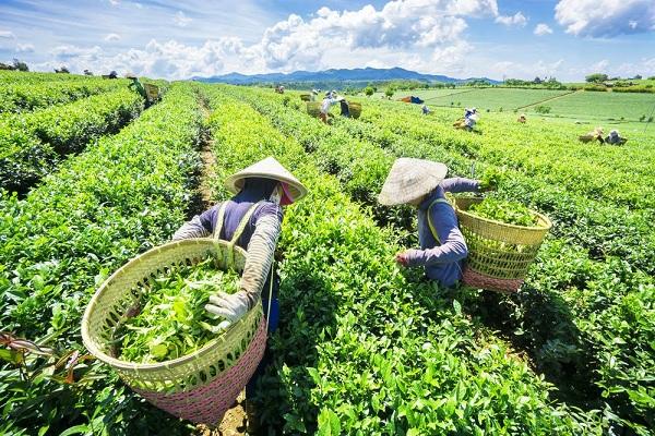 Ghé thăm những đồi chè đẹp nhất Việt Nam