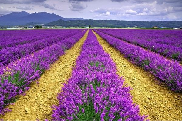 Vé máy bay đi Đà Lạt - Tận hưởng vẻ đẹp của cánh đồng hoa oải hương
