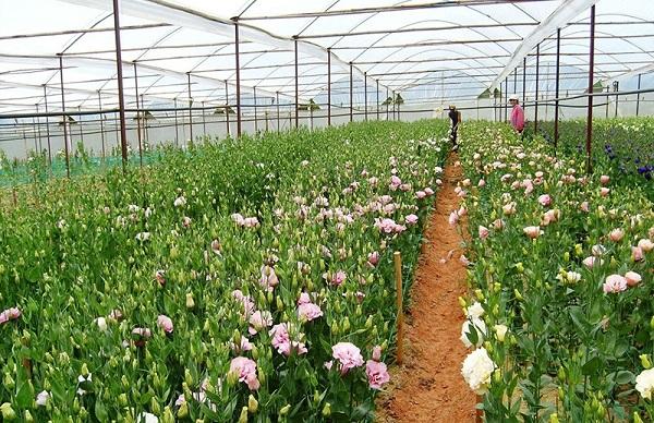 Vé máy bay đi Đà Lạt - Khung cảnh xanh ngát bởi những cánh đồng hoa rộng lớn