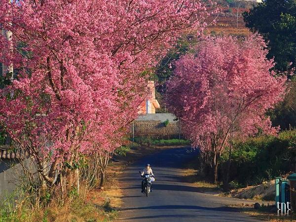 Mai Anh Đào khoe sắc tạo nên những thảm hồng quyến rũ tại con đường ở Trại Mát.
