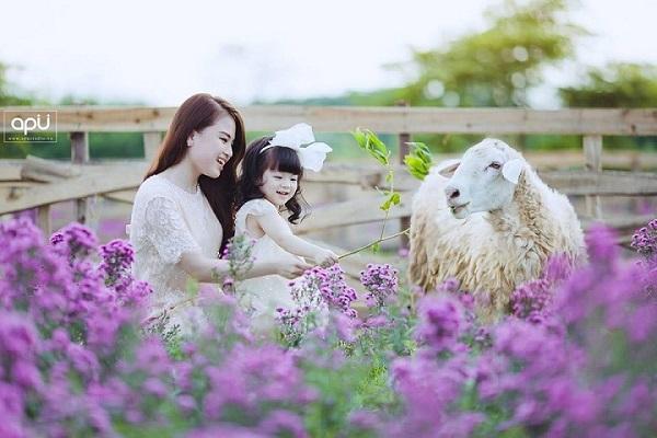Muôn kiểu chụp ảnh cực độc cùng cánh đồng hoa bao la với bầy cừu xinh xắn ở Hà Nội