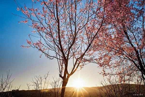 """Dân du lịch """"SỐT XÌNH XỊCH"""" với lễ hội hoa MAI ANH ĐÀO đầu tiên tại Đà Lạt"""