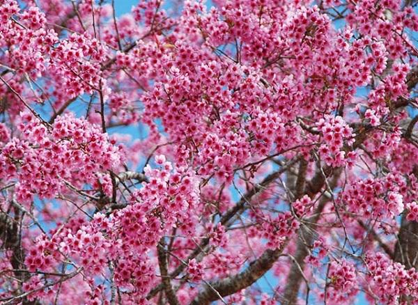 Mai anh đào bung nở sắc hồng rực rỡ cả một khung trời Đà Lạt