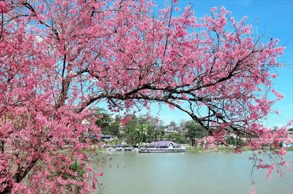 Khu vực Hồ Tuyền Lâm sẽ là địa điểm tổ chức Lễ Hội Hoa Mai Anh Đào