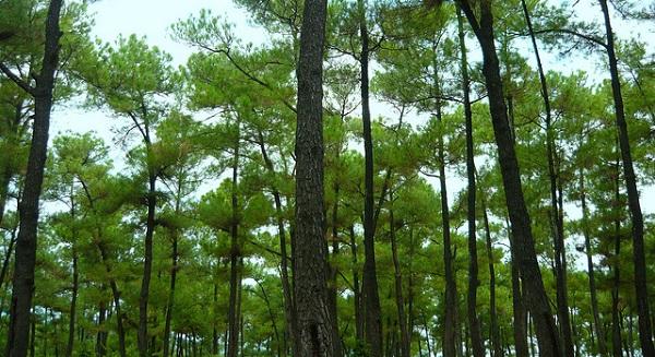 Rừng thông ngay ngoại ô Đà Nẵng