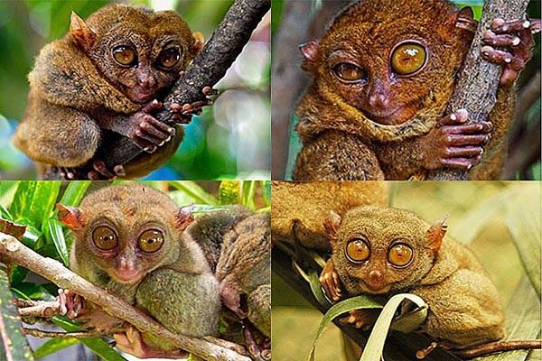 Ngắm nhìn những chú khỉ lùn Tarsier