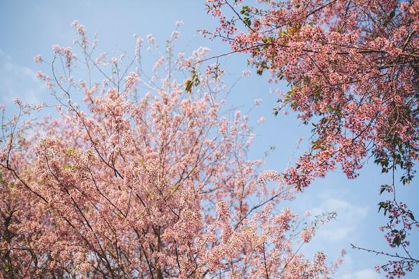 Hoa anh đào mùa xuân Đà Lạt