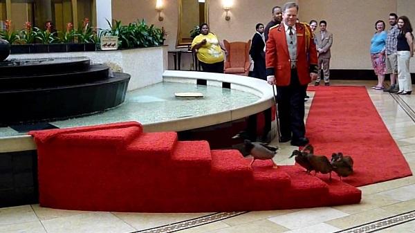 """Vịt """"lên sàn"""" trong khách sạn Peabody, Mỹ"""
