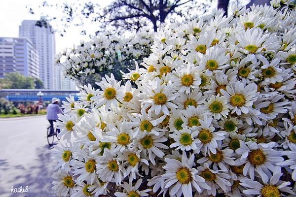 Vé máy bay đi Hà Nội - Ngắm mùa hoa đẹp nhất Hà Nội