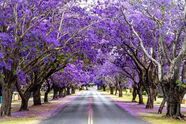Vé máy bay đi Úc - Mùa xuân nước Úc