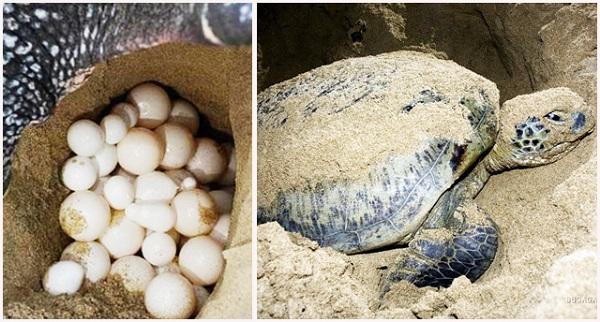 Cùng vé máy bay đi Côn Đảo xem vích đẻ trứng