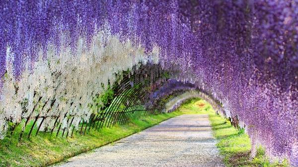 Đặt vé máy bay đi Nhật giá rẻ khám phá vườn Kawachi Fuji